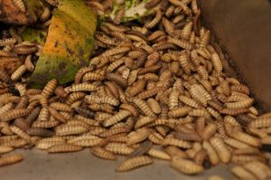 Black Soldier Flies dried larvae are upwards of 40% crude protein. Photo courtesy: Scratch and Peck Feeds.