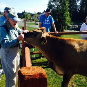A Farm Tour visitor pets a cow at Appel Farms on the 7th annual Whatcom County Farm Tour.