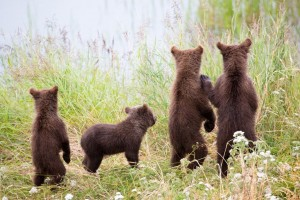 Kearney loves to photograph young animals like these brown bear cubs watching their mother at Brooks River in Katmai National Park, Alaska. Photo credit: Kenneth Kearney.