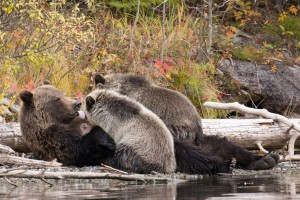 Kearney captures moments like this grizzly bear sow nursing her cubs in the British Columbia interior. Photo credit: Kenneth Kearney.