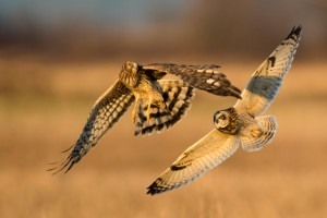 A short-eared owl (R) chases a Northern harrier (L) over the Samish Flats in Skagit County. Photo credit: Kenneth Kearney.