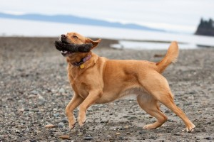 Labrador Sunny plays fetch on the beach in Birch Bay with his owner, Photographer Kenneth Kearney. Photo credit: Kenneth Kearney.