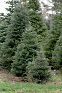 From small to large, Whatcom County Tree farms offer a grand selection of Christmas Trees. Photo credit: Theresa Golden.
