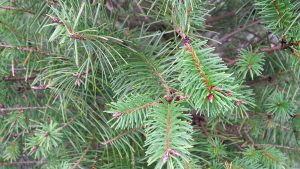 For a full bodied Christmas tree with a fragrant scent, try a Douglas fir. Photo credit: Theresa Golden.