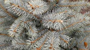 For strong branches with good spacing and a unique blue color, consider a Colorado Blue Spruce for a Christmas tree. Photo credit: Theresa Golden.