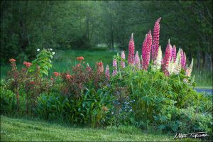 These Russell Hybrid Lupines and 'Fireglow' Euphorbia grow in Turner's front yard garden. Photo credit: Mark Turner.