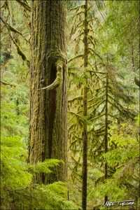 Turner captured this old-growth Western Red Cedar trunk framed by Western Hemlocks along the Boulder River Trail near Darrington. Photo credit: Mark Turner.