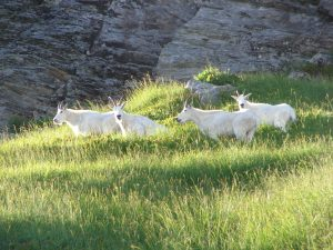 This herd of mountain goats were visible from the Chain Lakes Loop trail. Photo credit: Patty Fralic.