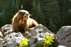 This fierce, whistling Hoary Marmot makes its home in the Cascades. Photo credit: Brandon Fralic.