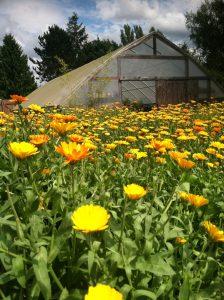Calendula growing on a three (and a half) acre farm in Birchwood. Photo credit: Christie Tomlin.