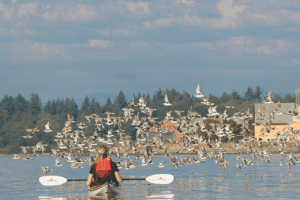 17th Annual Wings Over Water NW Birding Festival Takes Flight @ Birch Bay, Blaine & Semiahmoo